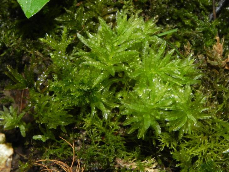 Picture of Plagiomnium undulatum
