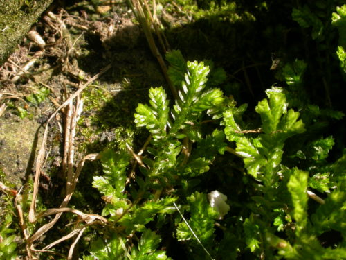 Picture of Selaginella kraussiana