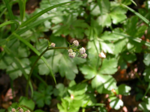 Picture of Sanicula europaea (Sanicle)