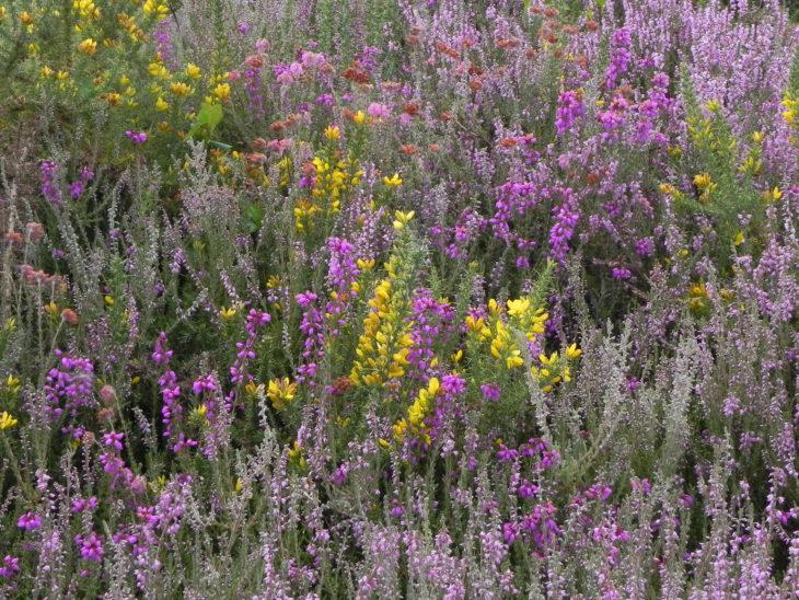 Picture of Heath flora at Graffham