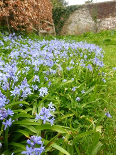 Picture of Scilla bithynica (Turkish Squill)