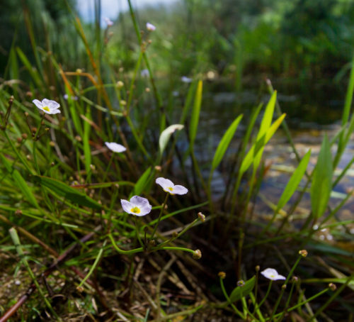 Picture of Baldellia ranunculoides (Lesser Water-plantain)