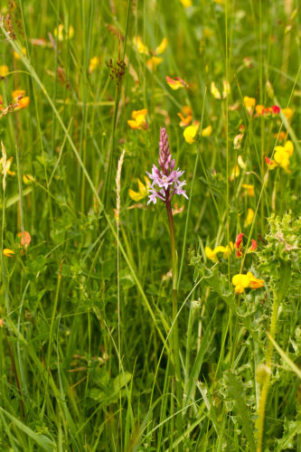 Picture of Dactylorhiza fuchsii (Common Spotted-orchid)