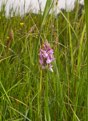 Picture of Dactylorhiza praetermissa (Southern Marsh-orchid)