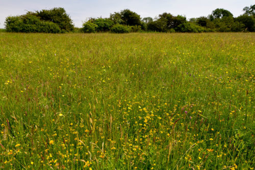 Picture of Herb-rich meadow, Pevensey Levels
