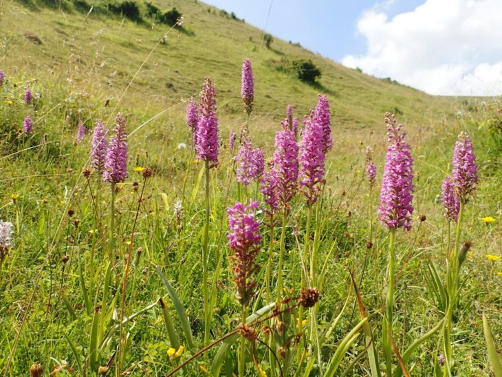 Picture of Gymnadenia densiflora (Marsh Fragrant-orchid)