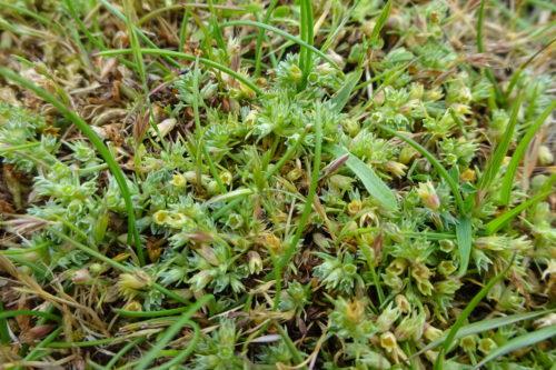 Picture of Scleranthus annuus (Annual Knawel)