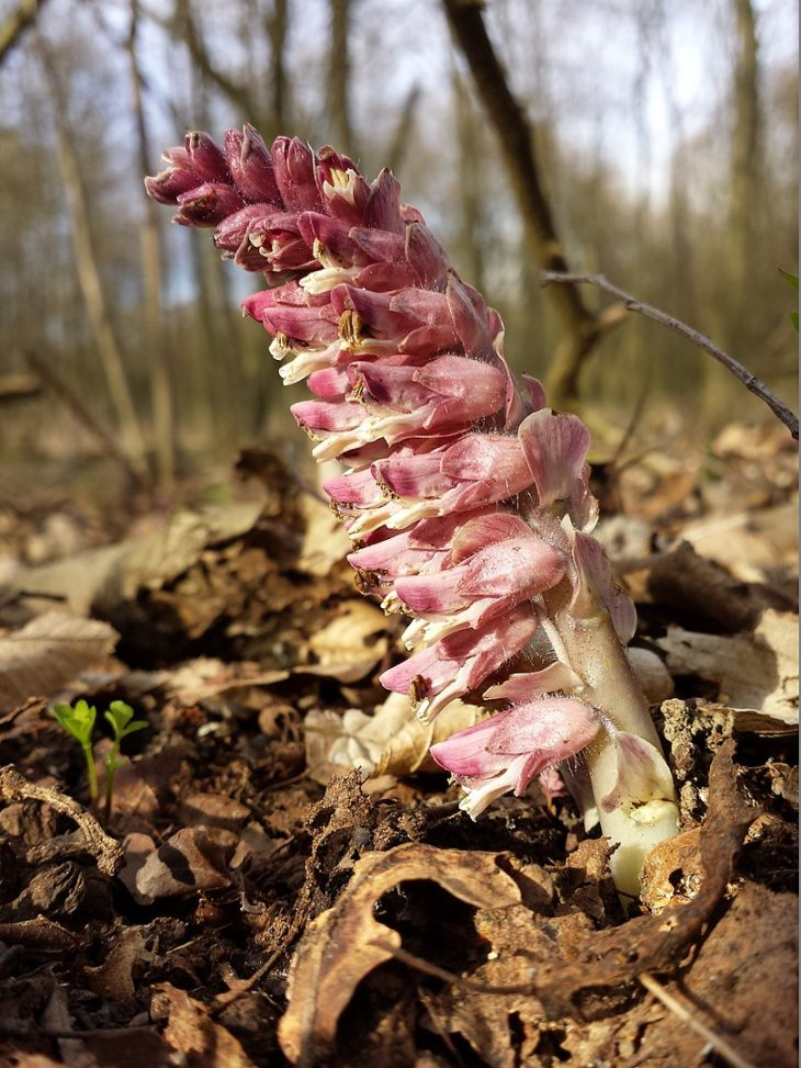 Picture of Lathraea squamaria (Toothwort). By Stefan.lefnaer - Own work, CC BY-SA 4.0, https://commons.wikimedia.org/w/index.php?curid=39488023