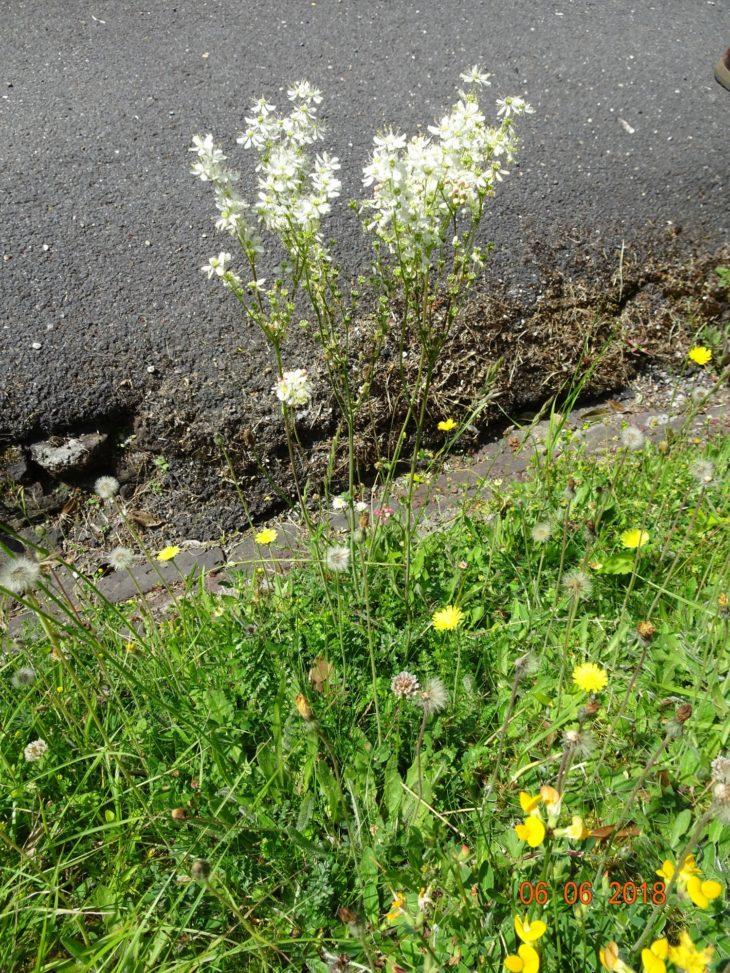 Picture of Filipendula vulgaris (Dropwort)