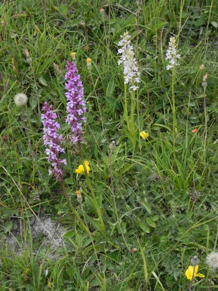 Picture of Gymnadenia conopsea (Fragrant Orchid)