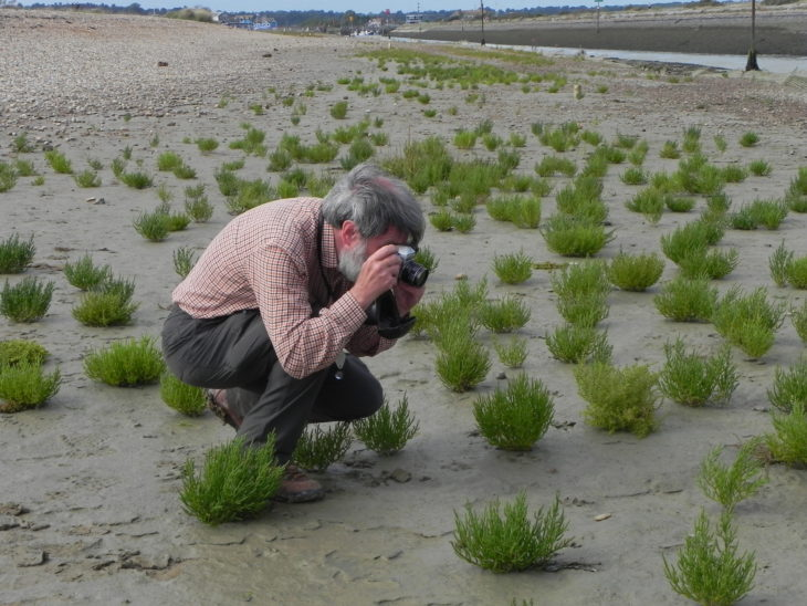 Picture of Salicornia dolichostachya (Long-spiked Glasswort)