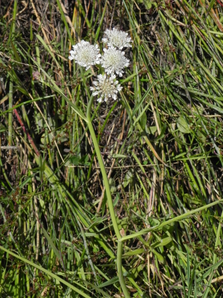 Picture of Oenanthe fistulosa (Tubular Water-dropwort)