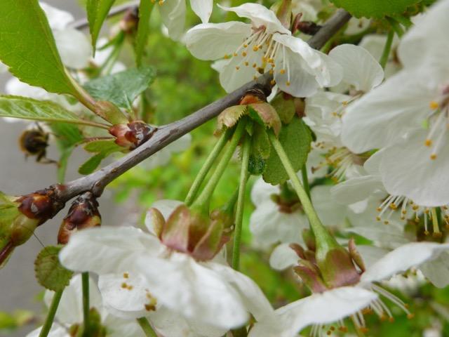 Picture of flowers of Prunus cerasus