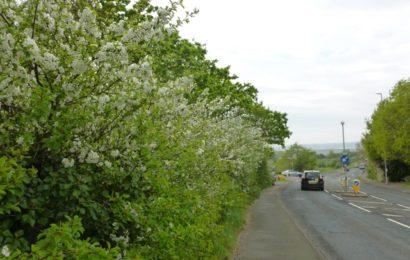 Picture of Prunus cerasus at Willingdon Drove, Eastbourne