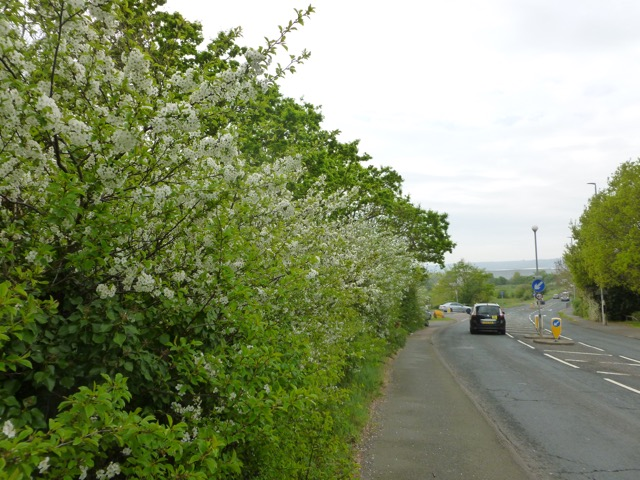 Picture of Prunus cerasus at Willingdon Drove, Eastbourne