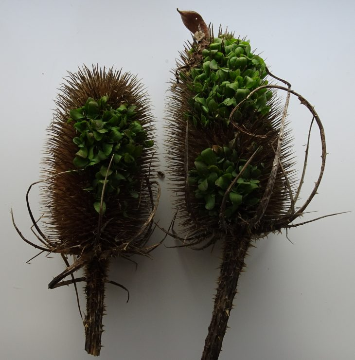 Picture of Teasel (Dipsacus fullonum)