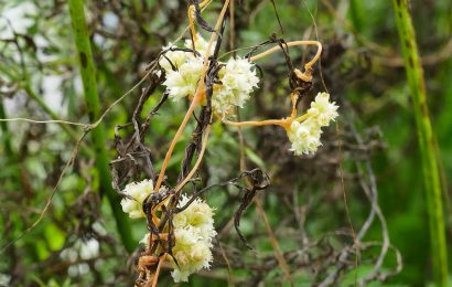 Picture of Cuscuta campestris (Yellow Dodder)