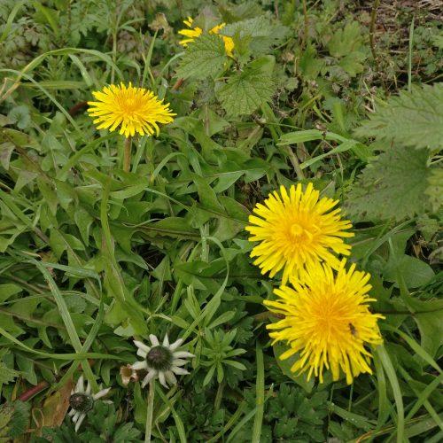 Picture of Taraxacum agg.