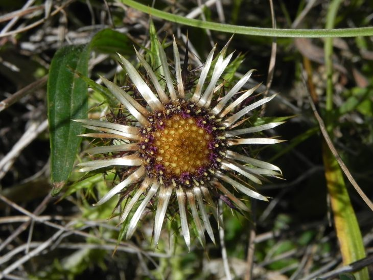 Picture of Carlina vulgaris (Carline Thistle)
