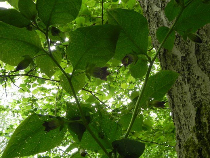 Picture of Atropa belladonna (Deadly Nightshade)