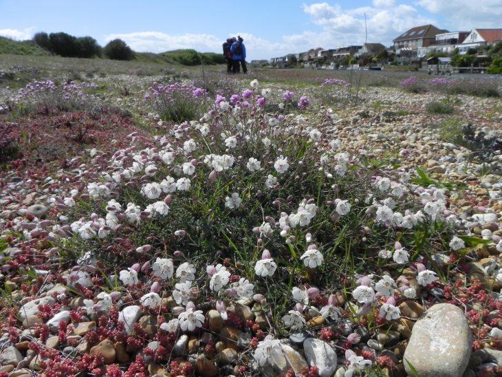 Picture of Silene uniflora (Sea Campion)
