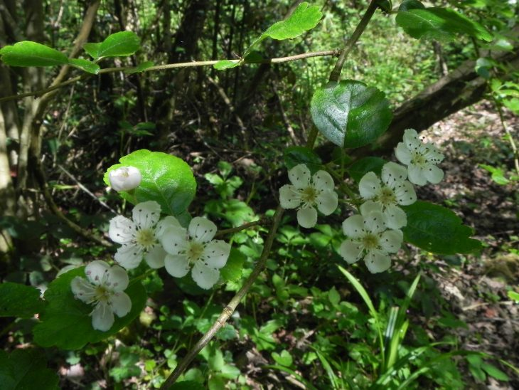 Picture of Crataegus laevigata (Midland Hawthorn)