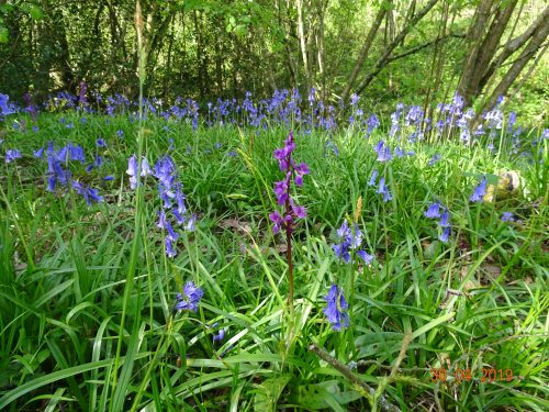 Picture of Orchis mascula (Early-purple Orchid) and Bluebells (Hyacinthoides non-scripta)