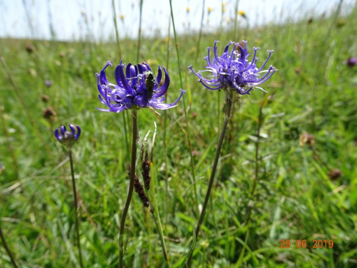 Picture of Phyteuma orbiculare (Round-headed Rampion)