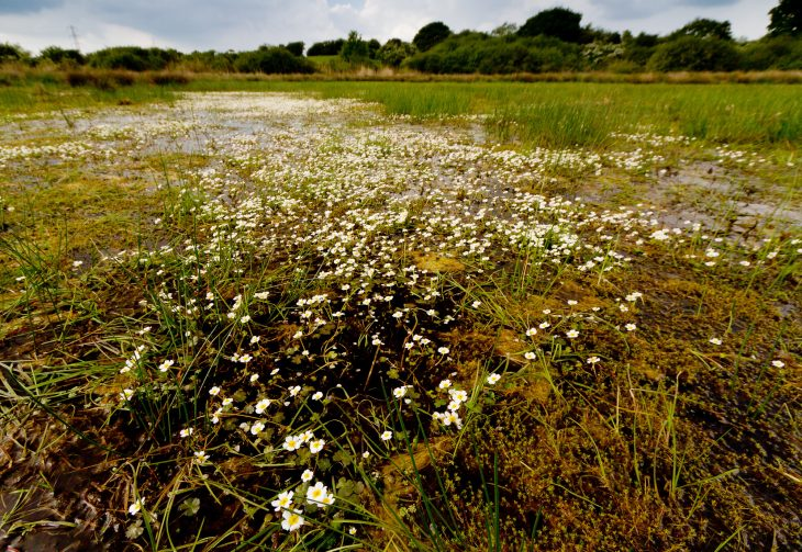 Picture of Ranunculus baudotii (Brackish Water-crowfoot) on Pevensey Levels
